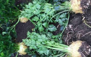 Выращивание корневого сельдерея и уход за ним в открытом грунте: как вырастить из семян рассаду