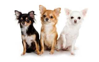 Чихуахуа (мини), фото щенков, описание, уход и питание