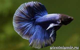 Морской петух: особенности этой рыбы, ареал обитания и рацион