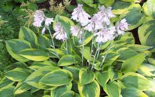 Хосты — характеристика и фото растений, уход и выращивание