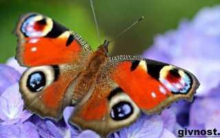 Всё о бабочках павлиний глаз: описание дневных и ночных мотыльков