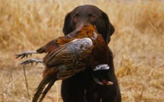 Охотничьи породы собак с фотографиями и названиями, маленькие и большие, лучшие в своем амплуа и