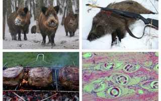 Трихинеллез животных: свиней, бобров, кабанов, лосей, лошадей, симптомы и лечение