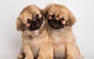 Тибетский спаниель: описание породы, цена щенков