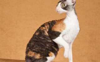 Краткое описание и особенности кудрявой породы корниш рекс: белый кот, характеристика и стандарт, сколько лет