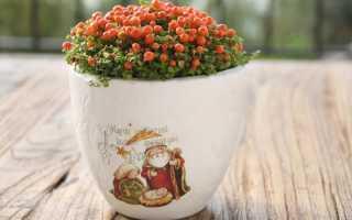 Цветок нертера: уход в домашних условиях