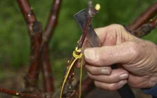 Как привить алычу: на сливу, когда прививать алычу весной, летом (сроки), как привить