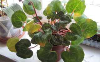 Что делать — у Цикламена желтеют листья: почему они вянут во время цветения, что предпринять