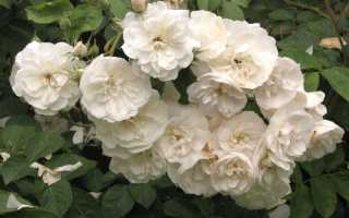 Размножаем розы черенками дома: технология размножения, особенности укоренения черенков