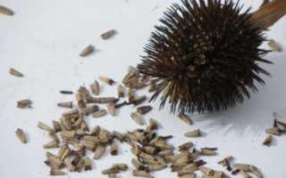 Цветок эхинацея: выращивание из семян, когда сажать, посадка и уход