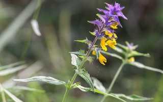Цветок Иван-да-марья: фото, когда цветет, лечебные свойства