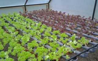 Выращивание листового и кочанного салата через рассаду в условиях теплицы: посадка и уход