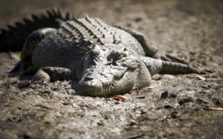 Гребнистый крокодил животное описание доклад информация сообщение размеры фото видео