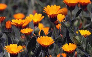 Календула: выращивание из семян, когда сажать