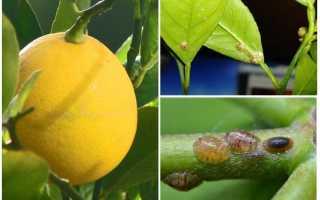 Лучшие способы борьбы со щитовкой на лимоне: химические средства, ручной сбор и народные методы