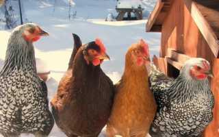 Почему куры несушки не несут яйца и что делать?