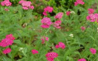 Растение тысячелистник, фото и описание, размножение и уход