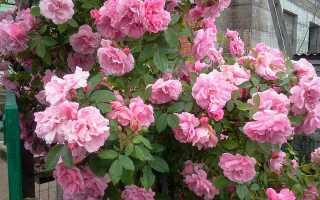 Правила ухода за розами весной: обрезка и подкормка, обработка против болезней и вредителей, полезные советы