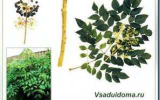Аралия маньчжурская — чертово дерево растение: посадка и уход