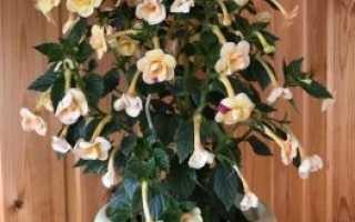 Ахименес: фото сортов комнатного цветка, выращивание и уход в домашних условиях, размножение семенами и ризомами,