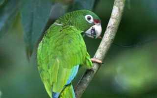 Почему попугай щелкает и скрипит клювом?
