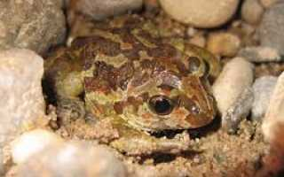 Чесночница: описание лягушки и содержание
