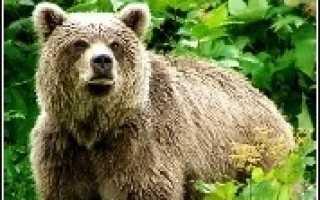 Охота на камчатке на медведя, цена