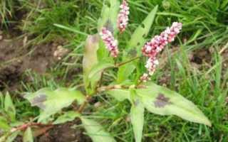 Растение горец змеиный или змеевик большой: фото, ботаническое описание травы и её применение