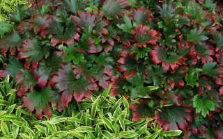Мукдения Карасуба или кленолистник: фото растений, посадка и уход, правила выращивания в саду