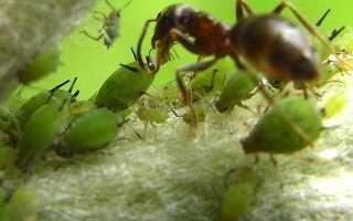 Муравьи и тля: зачем им союз, как первые доят и пасут вторых, едят ли их,