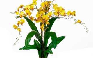 Орхидея Онцидиум: посадка и уход в домашних условиях