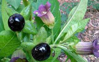Белладонна растение: фото, красавка трава, цветок ядовитый, настойки и препараты, ягода обыкновенная