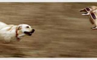 Универсальные охотники лабрадоры и другие ретриверы – описание пород и секреты обучения с видео инструкцией