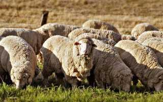 Советский меринос: характеристика и описания породы овец с фото