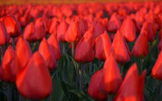 Тюльпаны Дарвиновы гибриды: Апельдорн, Лилабела и другие