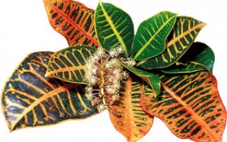 Кротон — размножение черенками, листьями, семенами в домашних условиях, пошаговая инструкция, фото, видео