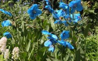 Как вырастить меконопсис (гималайский мак) из семян