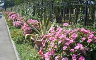 Как посадить и вырастить лаватеру: выращивание лаватеры из семян и уход, когда сажать в грунт,