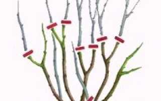 Как правильно обрезать розы: видео обрезки роз осенью, весной, летом виды обрезки роз