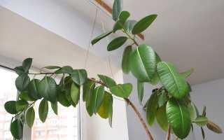 Фикус Треугольный: уход в домашних условиях, фото, посадка и размножение