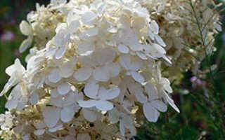 Цветок гортензия: фото и сорта гортензии метельчатой, посадка и особенности ухода, способы размножения