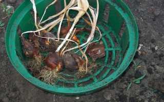 Как хранить луковицы тюльпанов, как выбрать место, видео