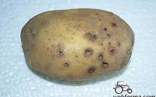 Как избавиться от проволочника на картофельном участке: лучшие средства