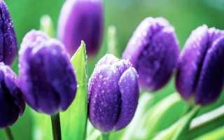 Оранжевые, фиолетовые, розовые и другие тюльпаны — фото
