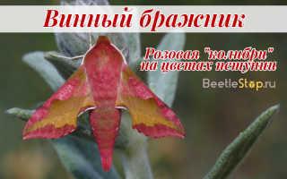 Винный бражник – розовая колибри умеренных широт