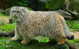 Манул – дикий палласов кот из Красной Книги России – фото и описание