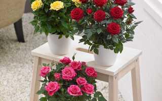 Уход за домашней розой в горшке после покупки: фото и как вырастить?