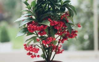 Ардизия крената: выращивание и уход в домашних условиях, фото и видео внешнего вида растения