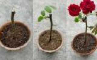 Как вырастить розу из черенка или вторая жизнь букета
