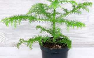 Комнатная араукария — уход и размножение в домашних условиях